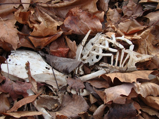 A partial skeleton in a pile of leaves