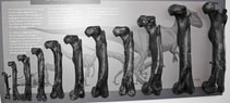 A series of bones lined up from smallest to largest
